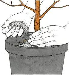 Как сделать дренаж для денежного дерева
